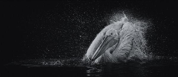 B108 Dalmation Pelican