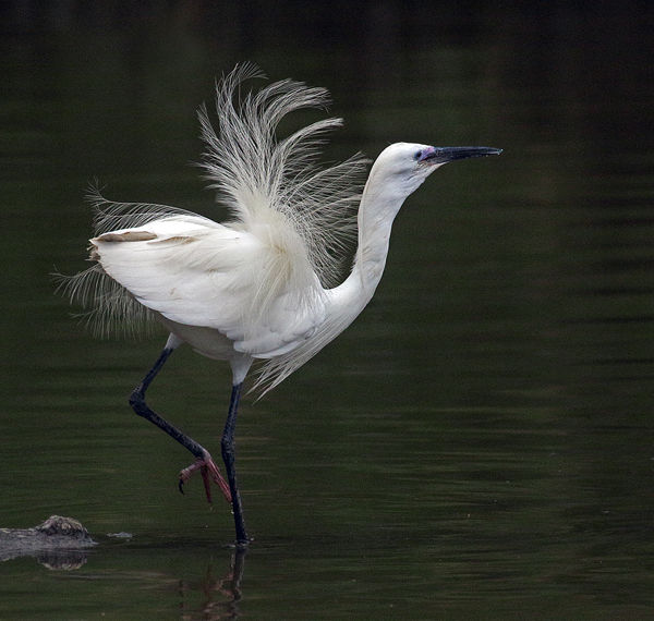B110 Little Egret