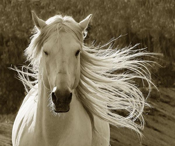 B114 Camargue Horse