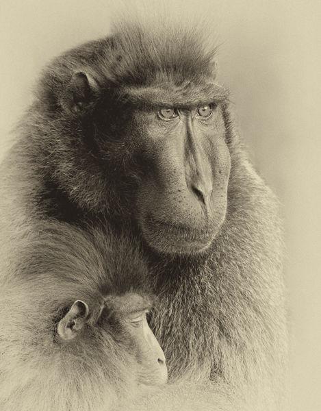 B117 Sulewesi Macaque