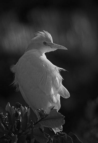 B118 Cattle Egret