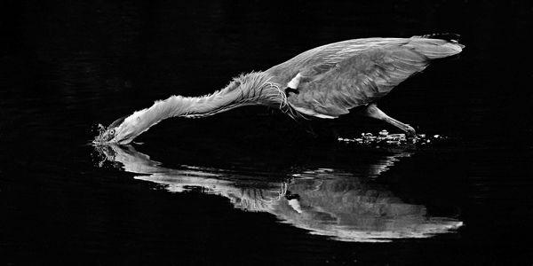 B119 Grey Heron