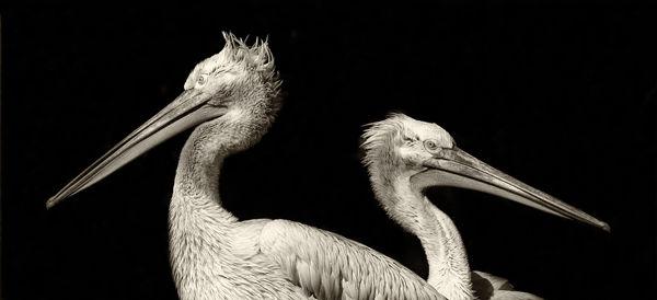B120 Grey Heron