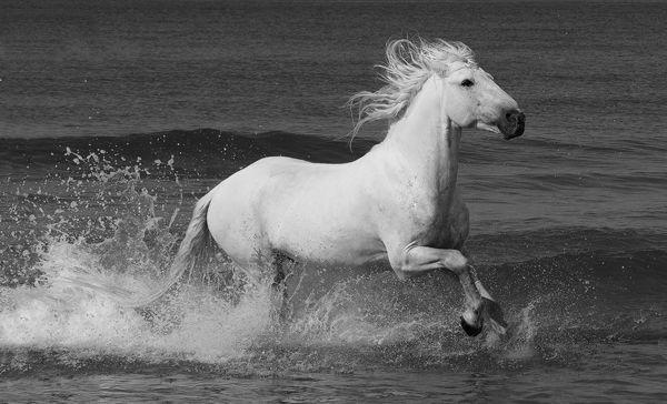 B121 Camargue Horse