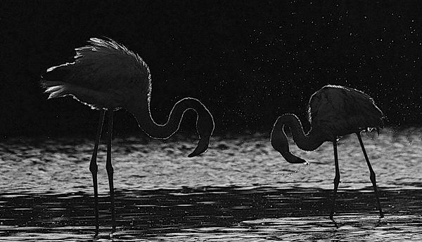B122 European Flamingo