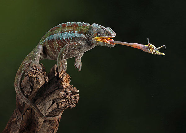 Chameleon with Cricket