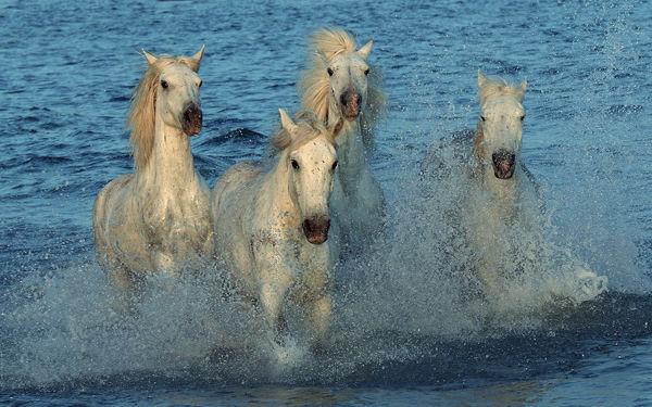 M101 Camargue Horses