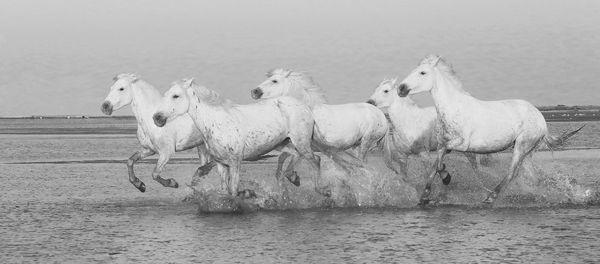 M103 Camargue Horses