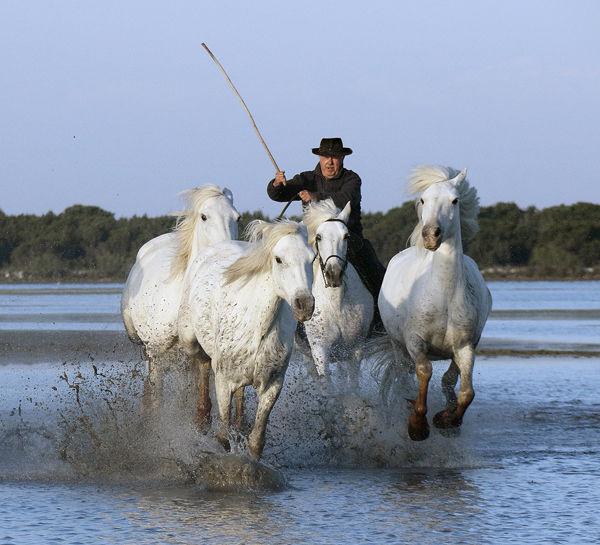 M104 Camargue Horses