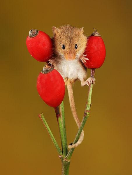 M105a Harvest Mouse