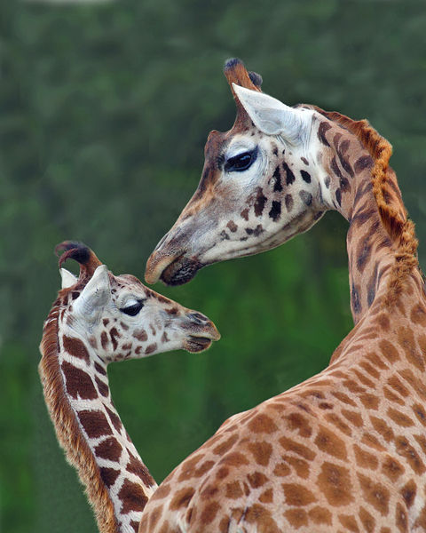 M107 Northern Giraffe family