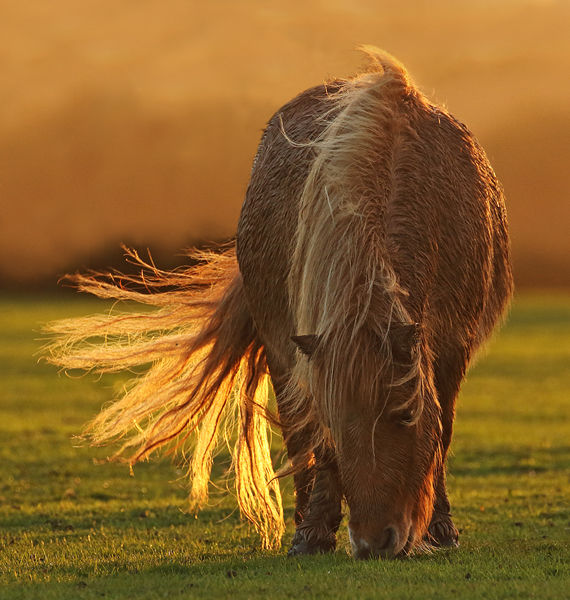 M108 New Forest Pony