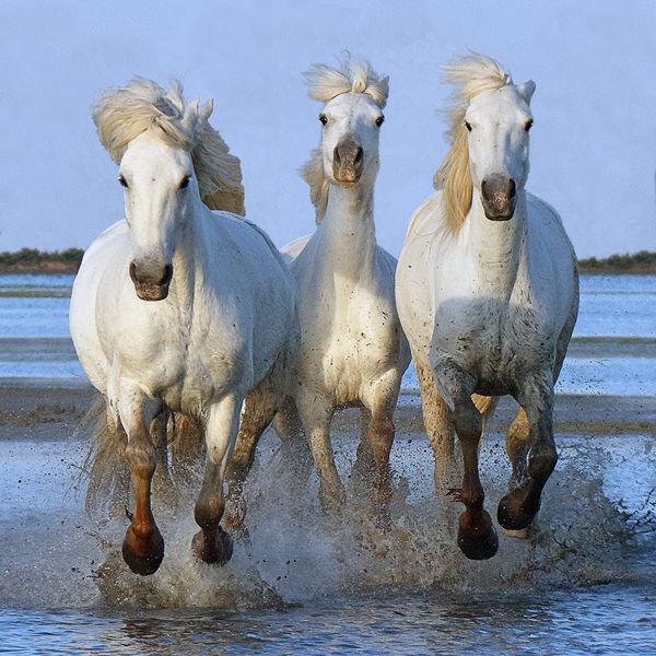 M111 Camargue Horses