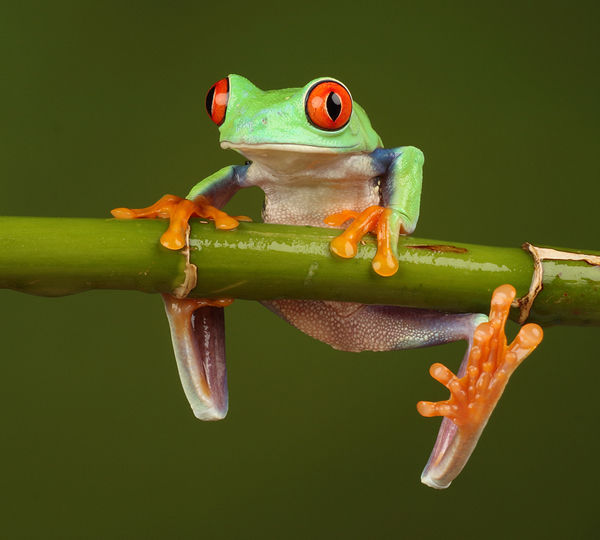 M113 Red Eyed Tree Frog