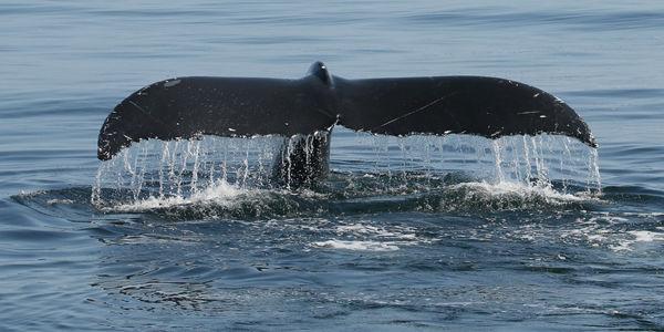 M116 Humpback Whale