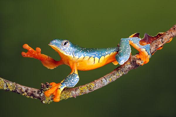 M117 Fringe leaf Frog