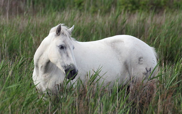 M119 Camargue Horse