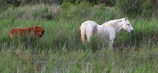 M120 Camargue Horse & Foal