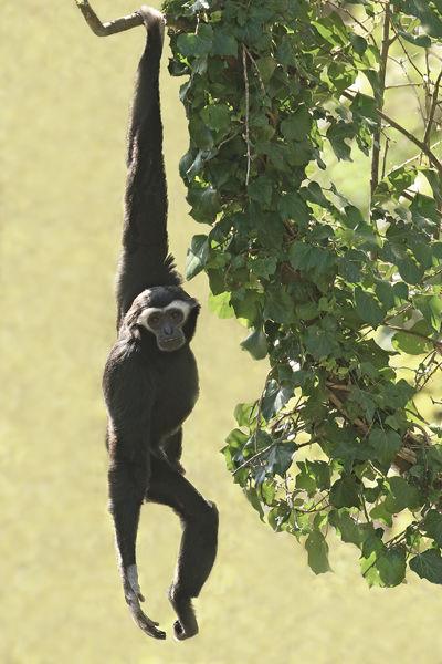 M121 Howler Monkey