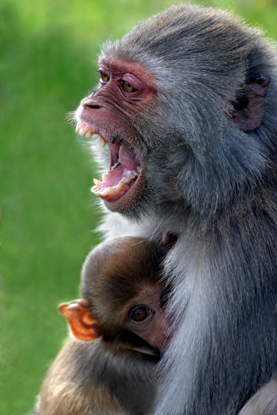 M126 Macaques