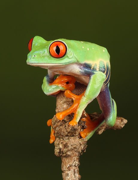 M139 Red Eyed Tree Frog