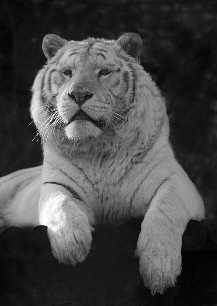 M140 White Tiger