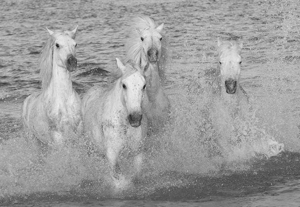 b109 Camargue Horses