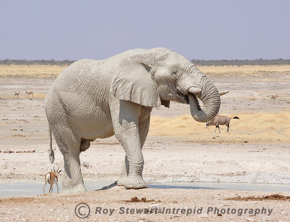 African Elephant, Etosha NP, Namibia