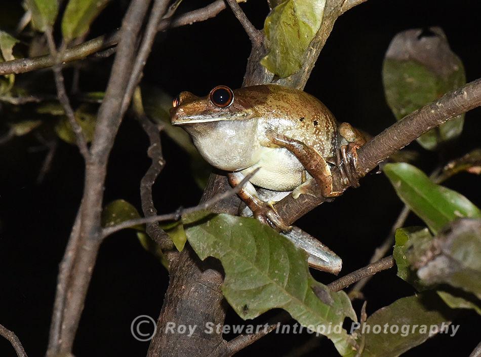 Amazon Rain Forest Frog, Amazonas, Brazil