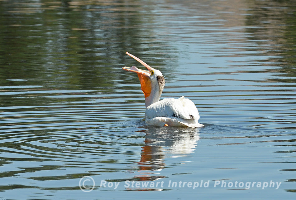 American White Pelican, Nevada, USA