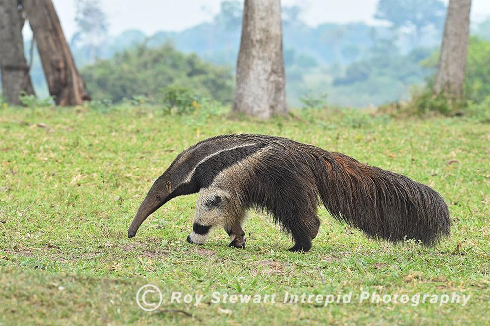 Anteater, Pantanal, Brazil
