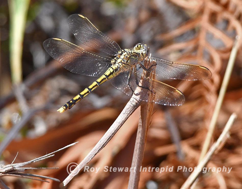 Australia Emperor Dragonfly, WA