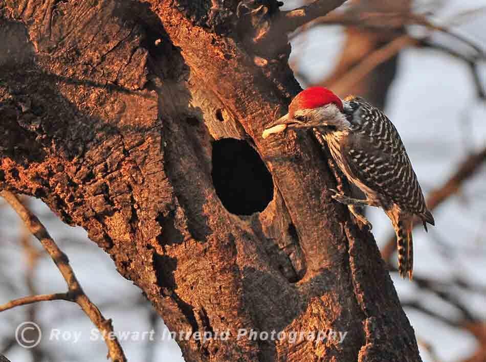 Bennett's Woodpecker, CKGR, Botswana