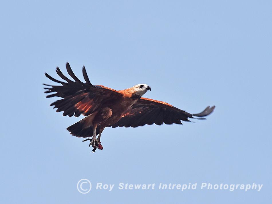 Black Collared Hawk, Amazonas, Brazil