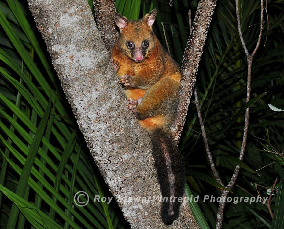 Brushtail Possum, NSW, Australia