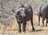 Buffalo,  Zambia