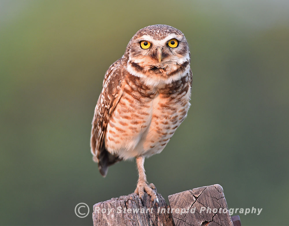 Burrowing Owl, Brazil