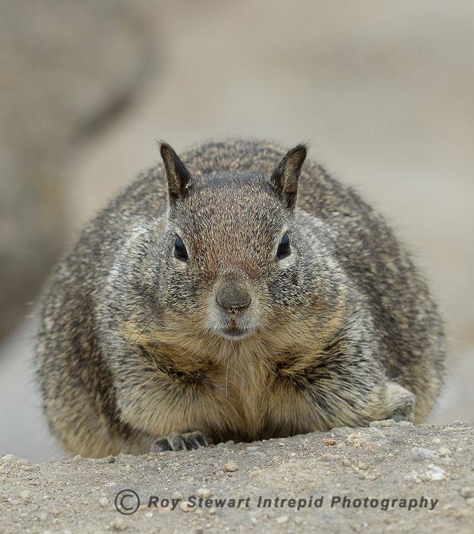 Californian Ground Squirrel, California, USA
