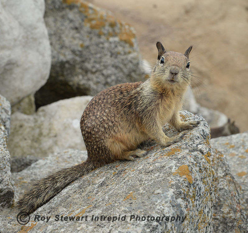 Californian Ground Squirrel, California, USA