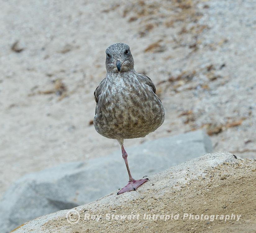 Californian Gull, California, USA
