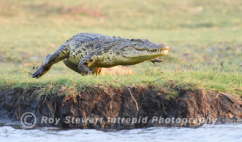 Crocodile,  Botswana
