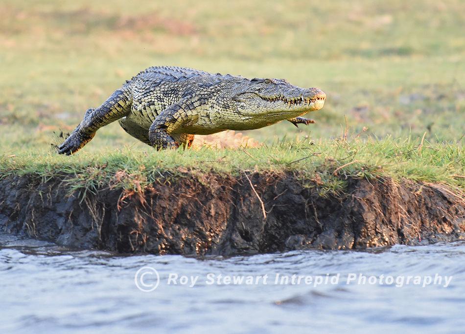 Crocodile, Chobe River, Botswana