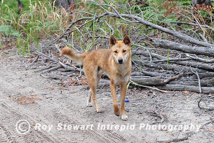 Dingo, Frazer Island, Australia
