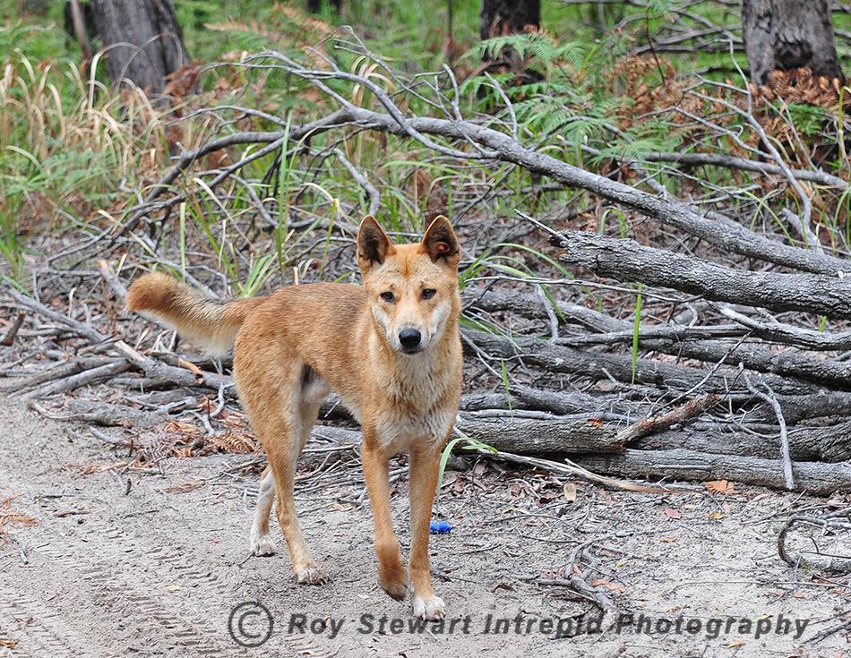 Dingo, Frazer Island, Queensland, Australia