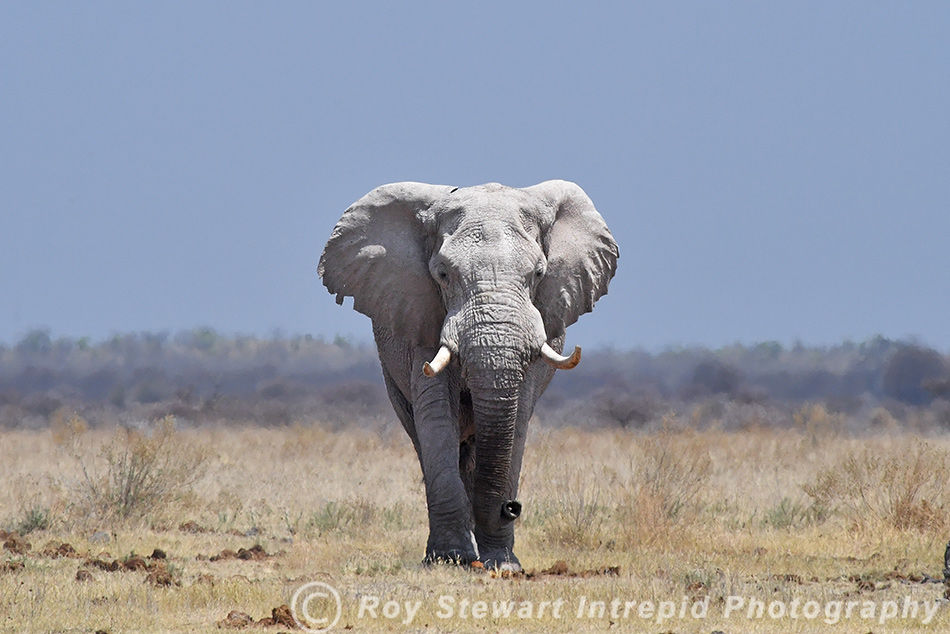 Elephant, Nxai Pan, Botswana