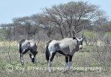 Gemsbok-Oryx,  Botswana