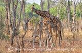 Giraffe,  Zambia
