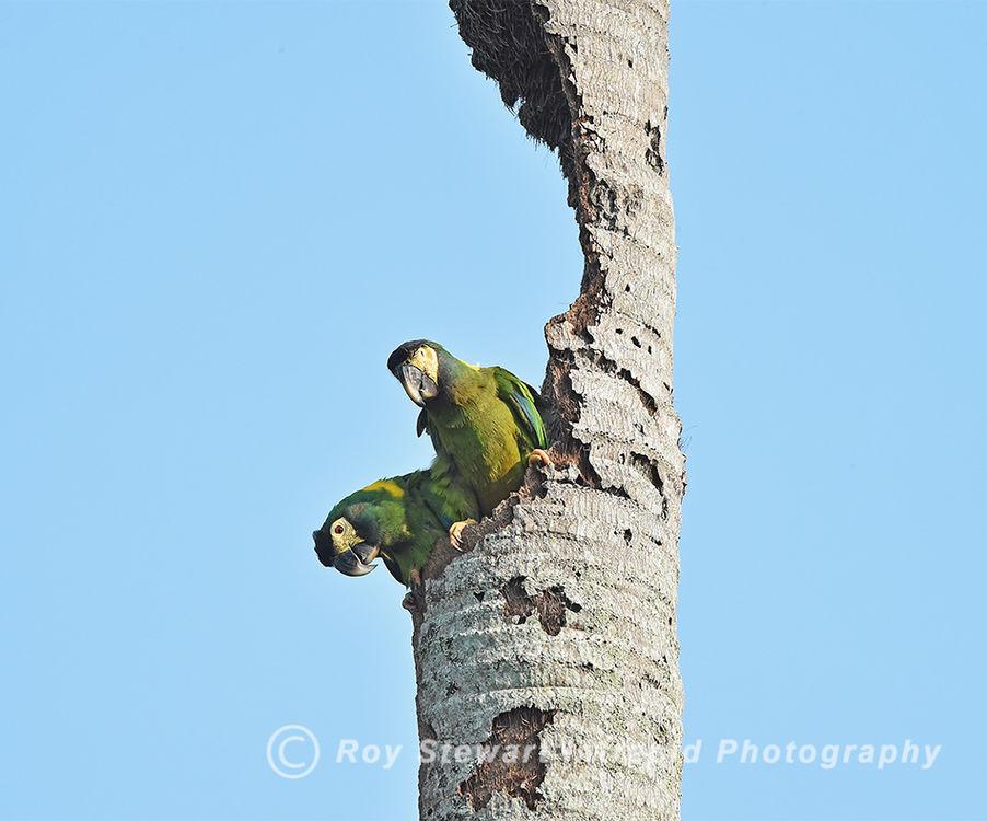 Golden collared Macaw, Pantanal, Brazil