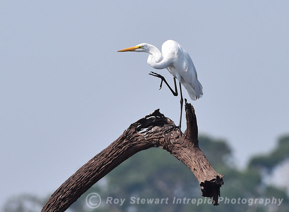 Great Egret, Amazonas, Brazil