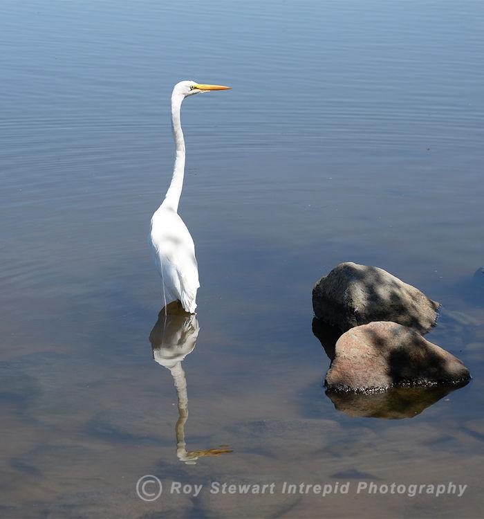 Great White Egret, Nevada, USA